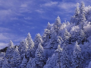 Snowy Trees - Blue Sky